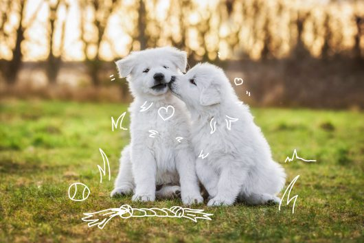 Dog food for puppies - Feeding your new puppy - Two puppies together