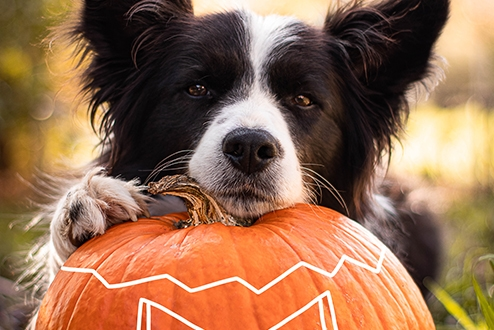 A Collie dog rests his head on a Halloween Pumpkin