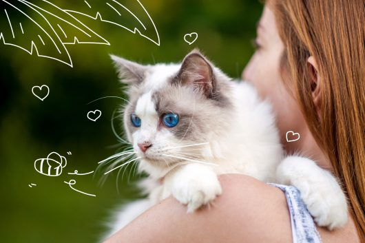 Cleaning your cat's teeth - A beautiful blue eyed cat