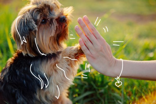 Yorkshire Terriers - A Yorkshire Terrier offers a high five!
