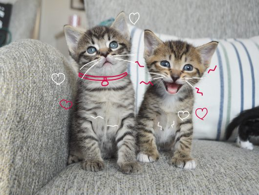 Two kittens on a sofa. One kitten is meowing. What does your cat's meow mean?