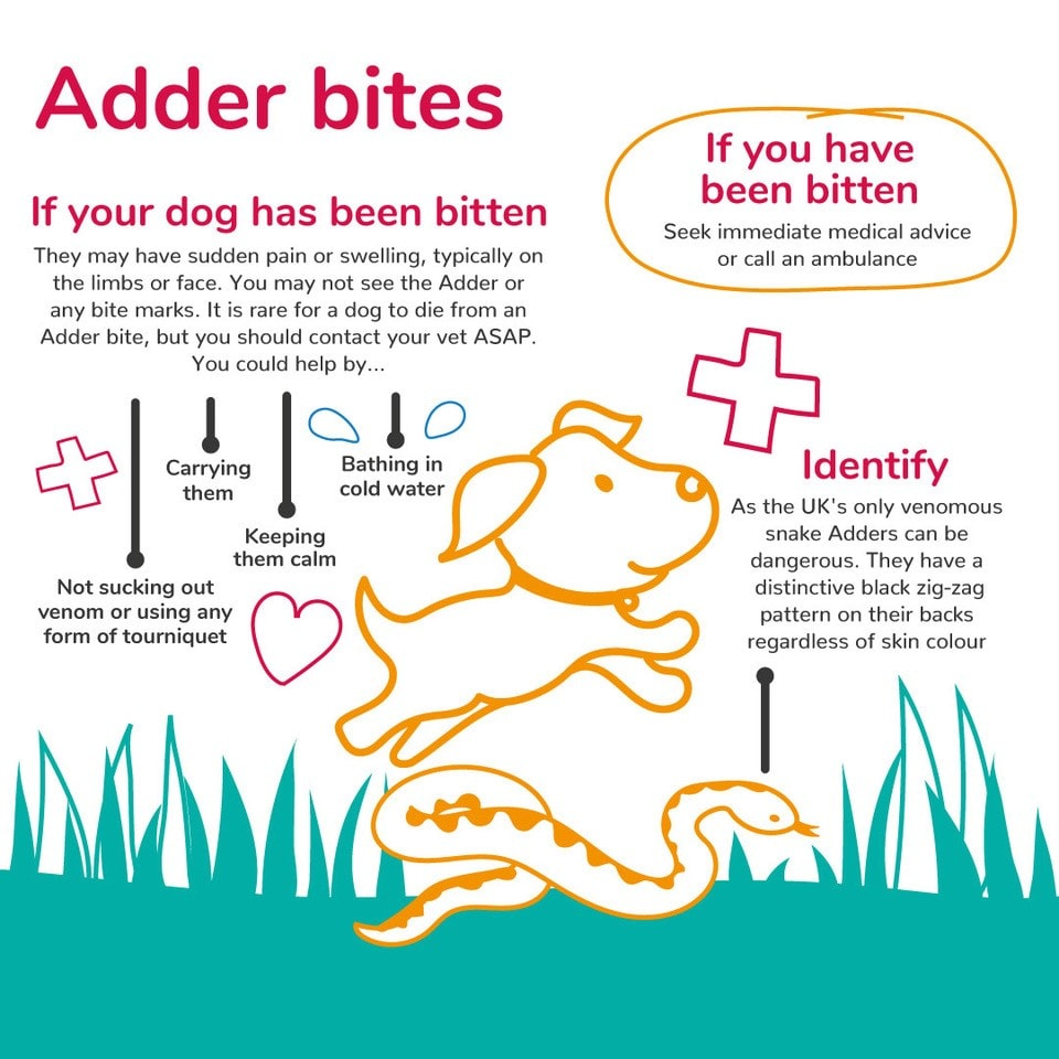 Adder bites - an infographic on what to do if your dog is bitten by an adder