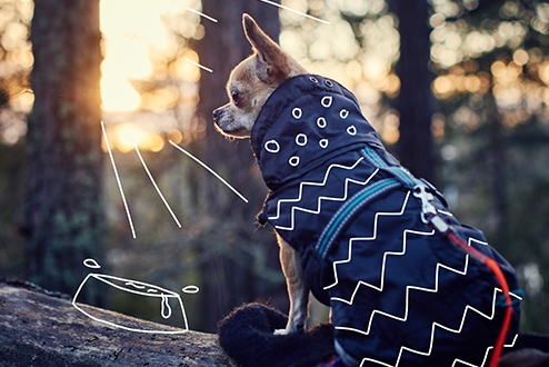 A Chihuahua in a winter coat as the sun sets - Dark Walkies