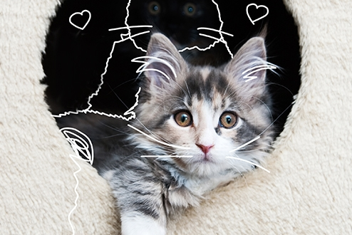 Maine Coon cat in a furry cat den - Cat insurance. Building a den for your pet.