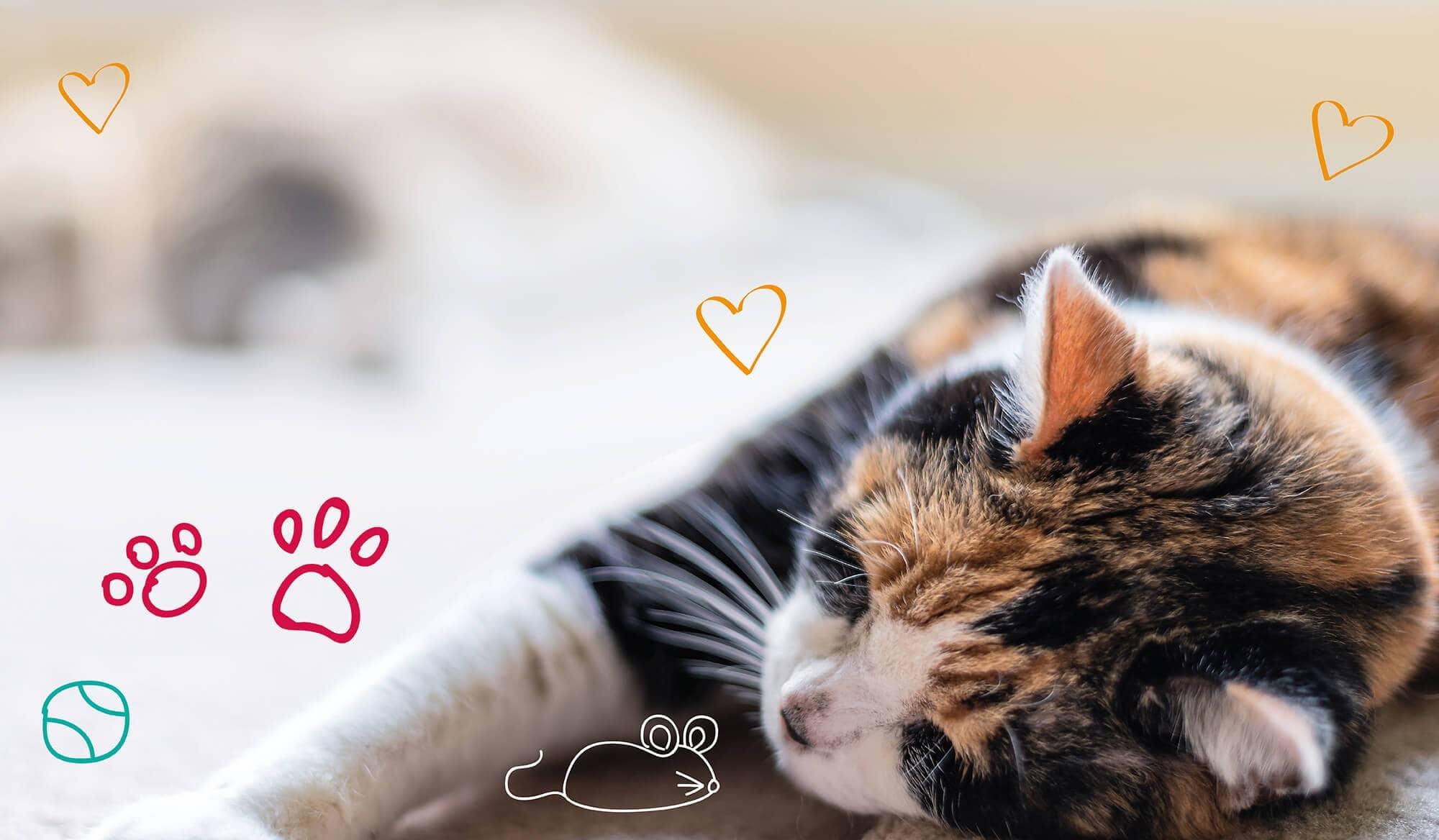 Pet fleas - a cat sleeps