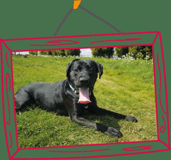 Jones the Labrador