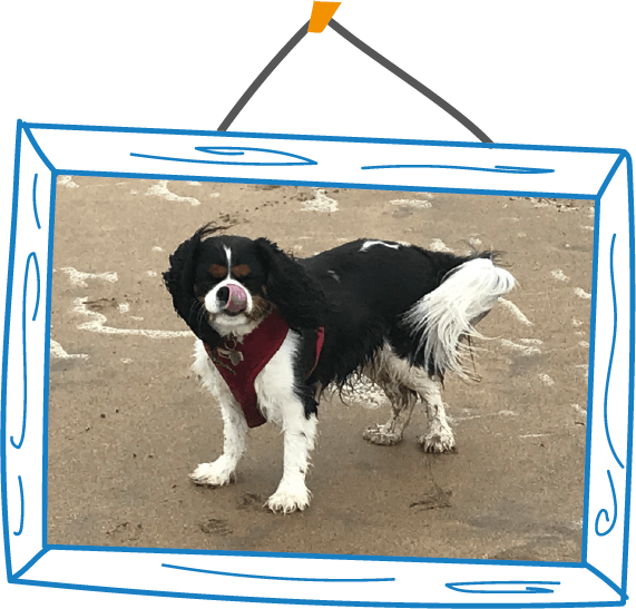 Lily the Cavalier King Charles Spaniel