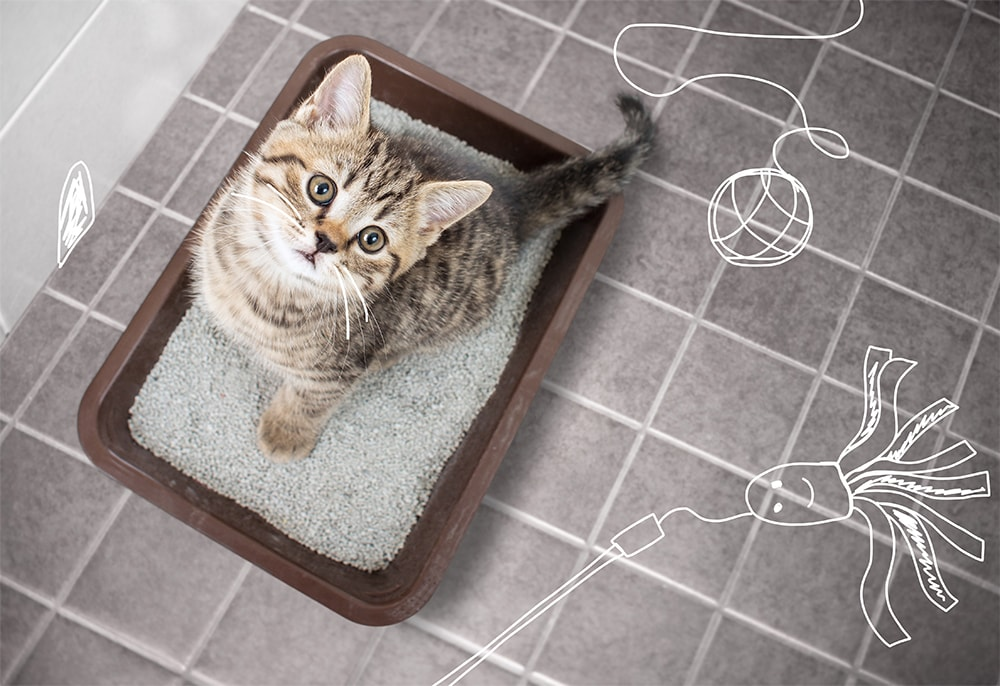 A kitten learns how to use her litter tray 1000px