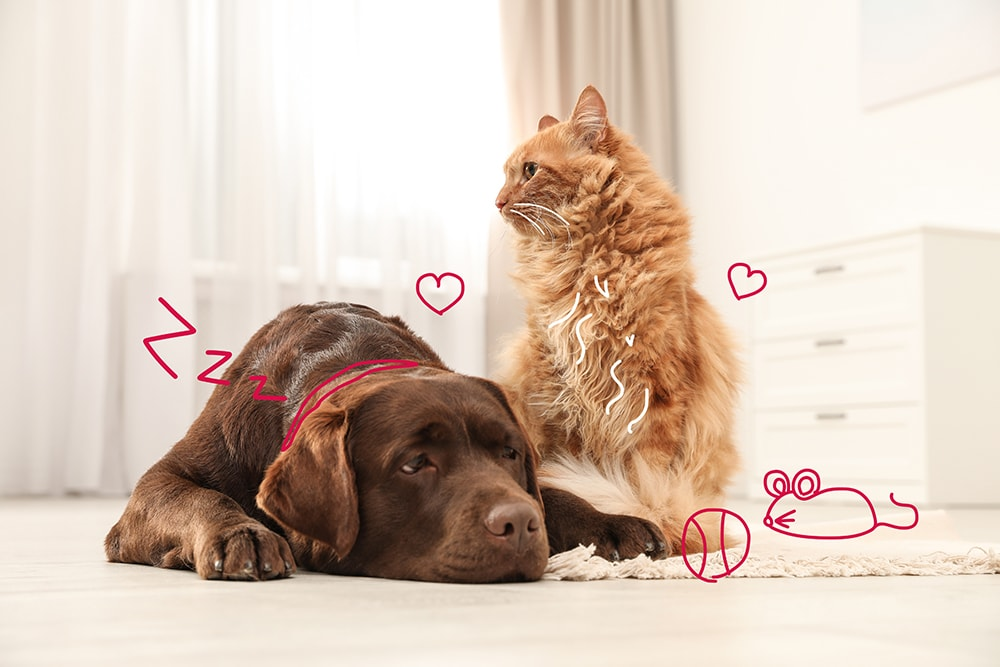 Arthritis in pets - a ginger cat and a brown labrador together on a rug.