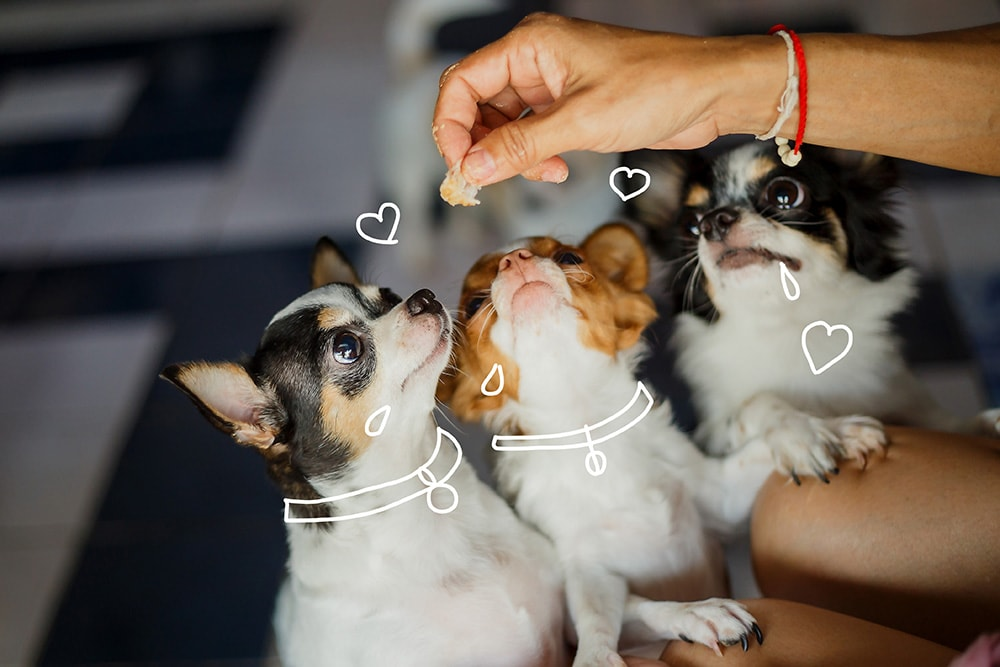 Three chihuahuas wait for a treat. Weight management in pets - Pet insurance from MiPet Cover.